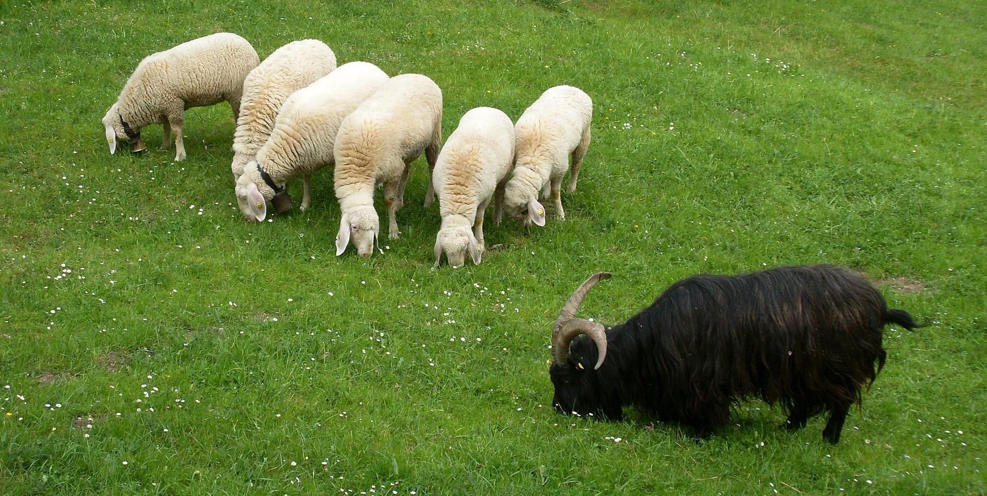 黒い羊効果